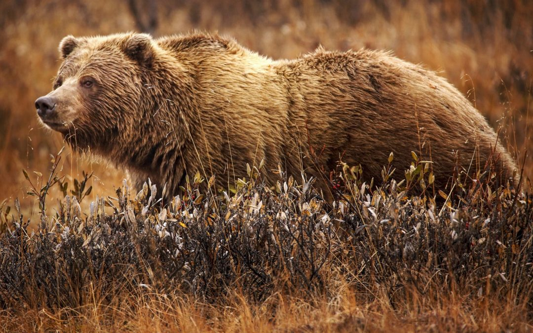 Can We Outrun This Grizzly Bear?